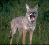 hunting_coyotes_using_dogs_01_thumb_200x184