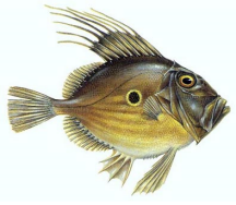 The kind of John Dory that doesn't attract crowds.