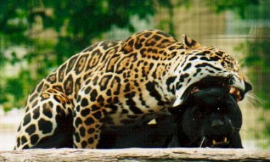 Jaguars, mating with teeth bared.