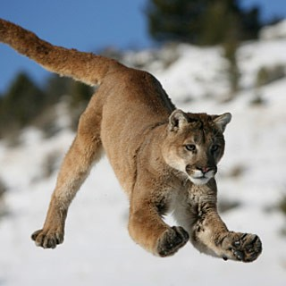 Just a mountain lion.