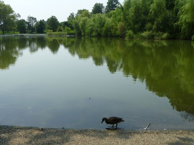 This Kissena Park duck is not dinner.