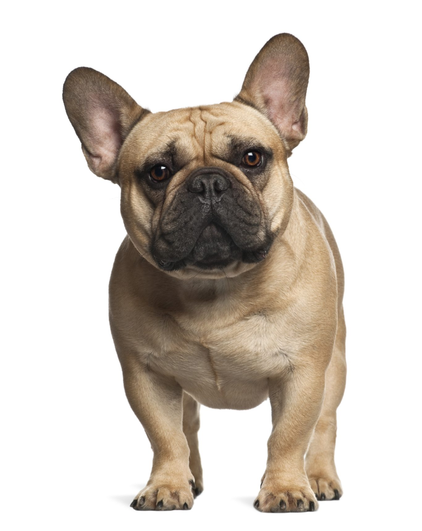 Why French Bulldogs (and Their Owners) Are the Worst: A Rant
